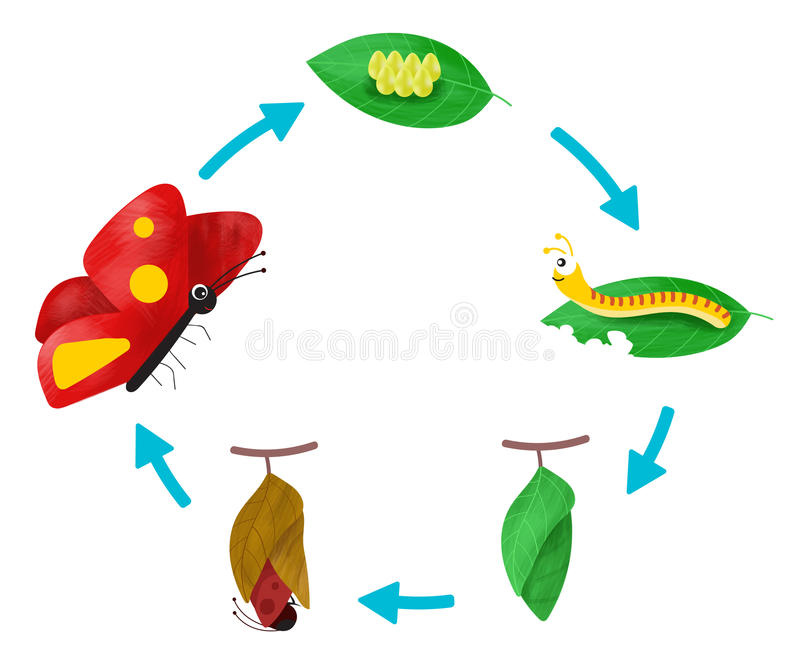 The Life cycle of a Butterfly. As advanced insects, butterflies and moths have a `complete` life cycle stock illustration