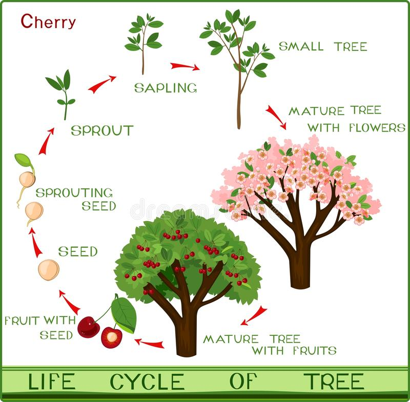 Life cycle of cherry tree with captions. Plant growing from seed to cherry-tree stock illustration