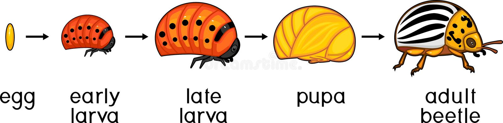 Life cycle of Colorado potato beetle or Leptinotarsa decemlineata. Stages of development from egg to adult insect vector illustration