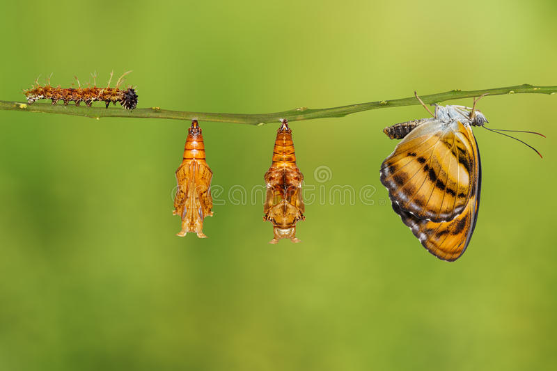 Life cycle of colour segeant butterfly hanging on twig. Life cycle of colour segeant butterfly ( Athyma nefte ) from caterpillar and pupa hanging on twig stock photography