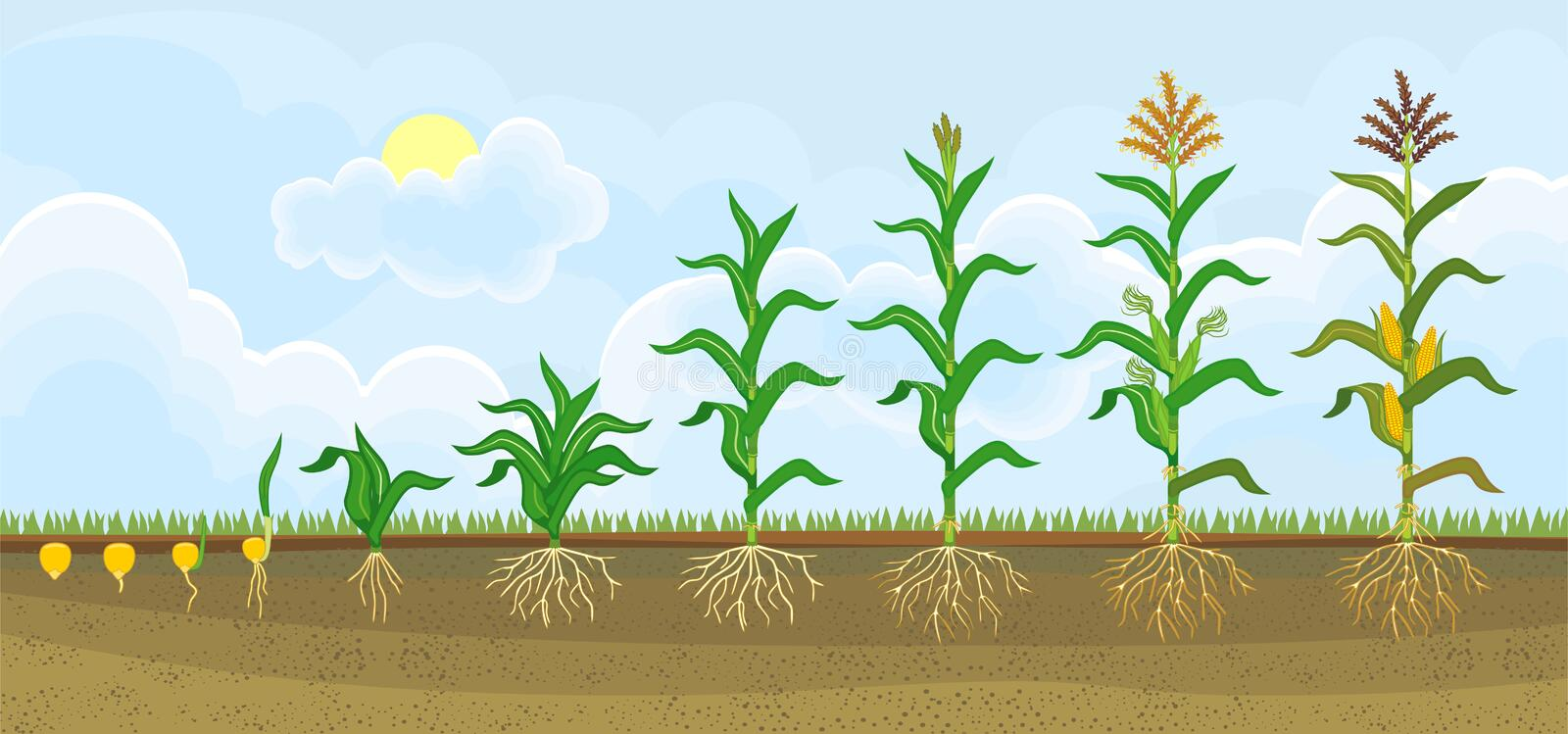 Life cycle of corn or maize plant. Growth stages from seeding to flowering and fruiting plant royalty free illustration