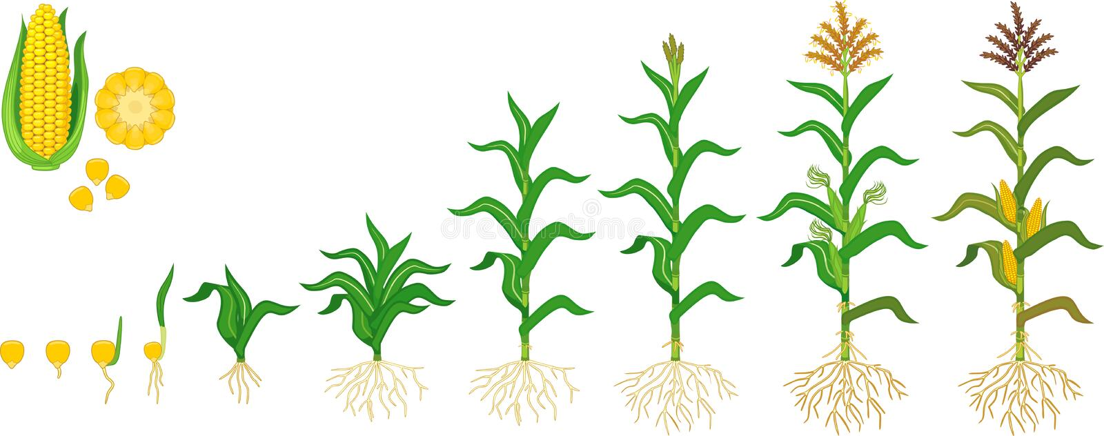 Life cycle of corn maize plant. Growth stages from seeding to flowering and fruiting plant isolated on white background vector illustration