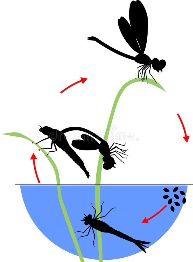Life cycle of dragonfly. Sequence of stages of development of dragonfly from egg to adult insect vector illustration