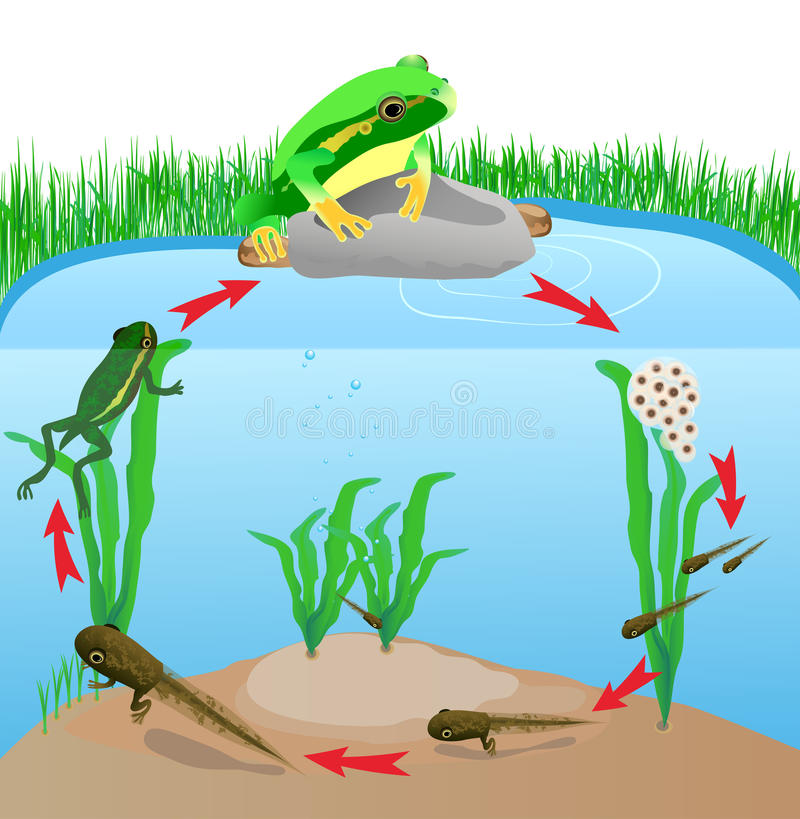 Life cycle european tree frog stock illustration