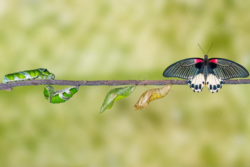 Life cycle of female great mormon butterfly from caterpillar stock images