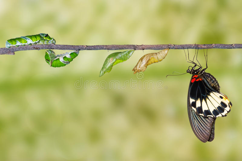Life cycle of female great mormon butterfly from caterpillar royalty free stock photo