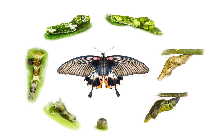 Life cycle of female great mormon butterfly. From egg, larva and pupa stock photo