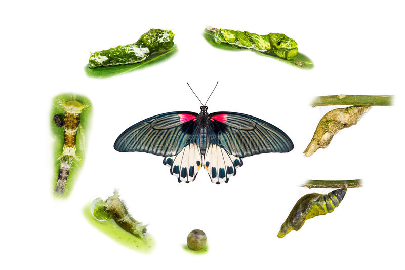Life cycle of female great mormon butterfly royalty free stock photos