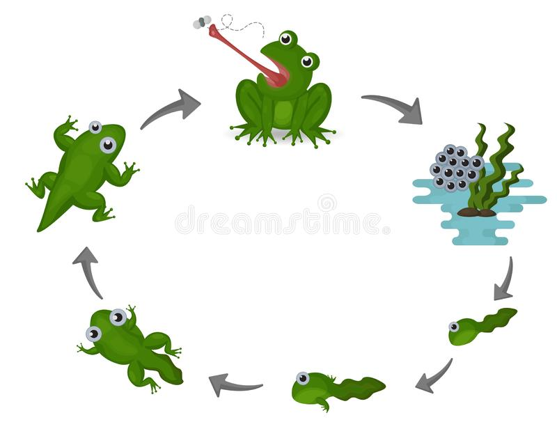 Life cycle of frog. Vector Illustration vector illustration
