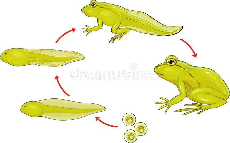 Life cycle of frog royalty free illustration