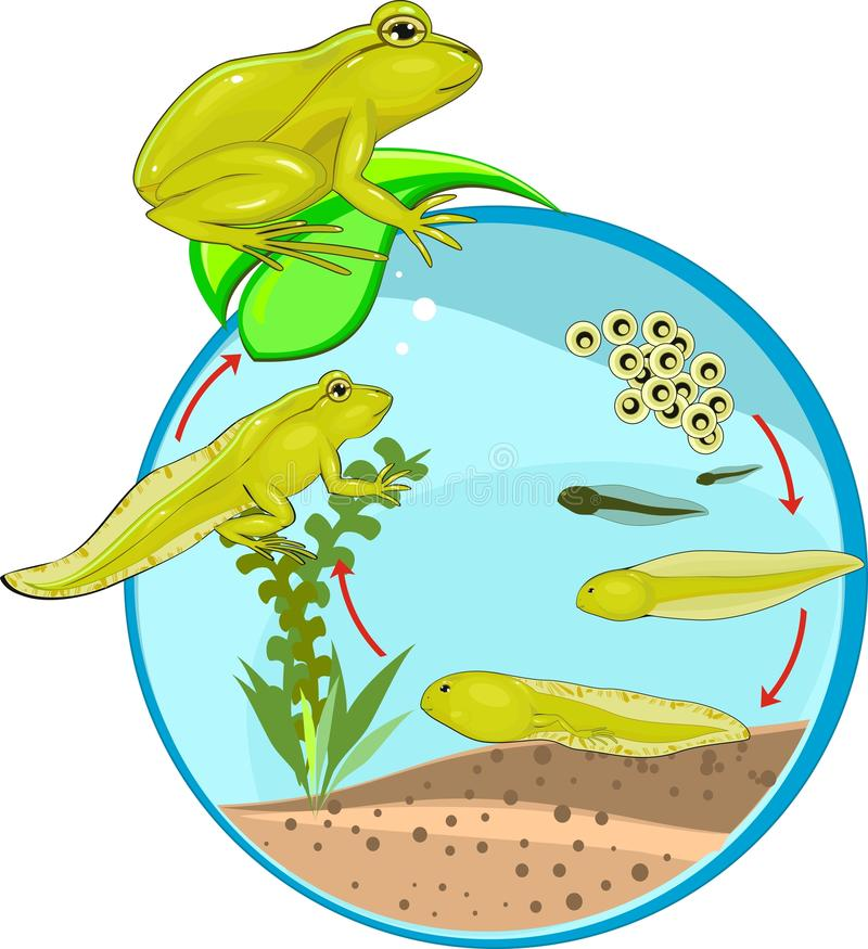 Life cycle of frog. In environment stock illustration