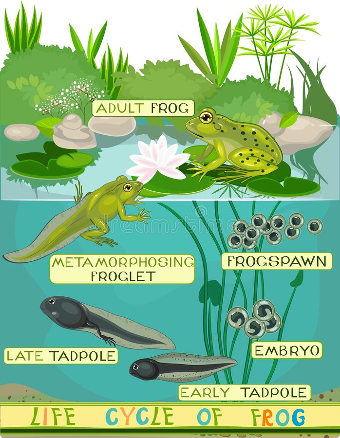 Life cycle of frog. Life cycle of green frog vector illustration