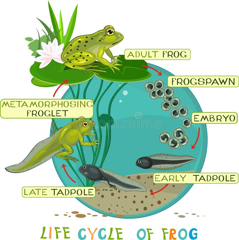 Life cycle of frog. Life cycle of green frog stock illustration