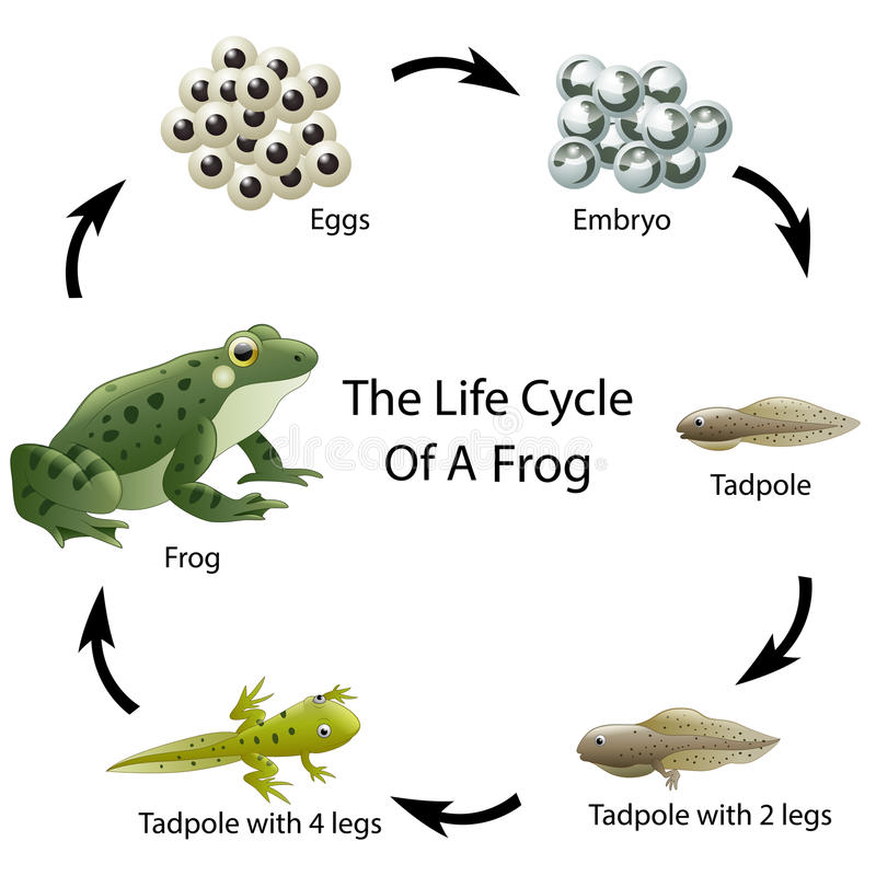 Download The Life Cycle Of A Frog Stock Vector. Illustration Of Environment    79294640