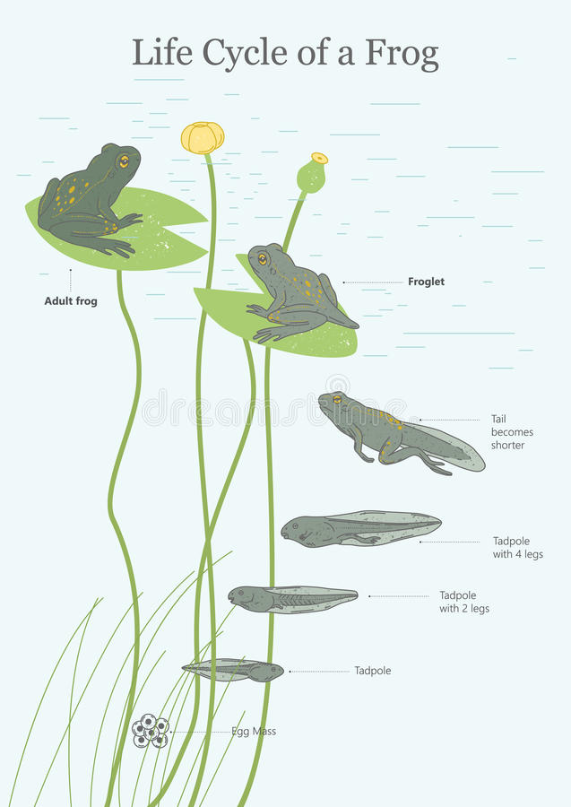 The Life Cycle of a Frog. Illustration Poster royalty free illustration