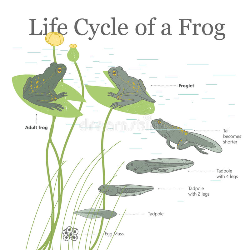 Life Cycle of a Frog. Square poster. Life Cycle of a Frog stock illustration