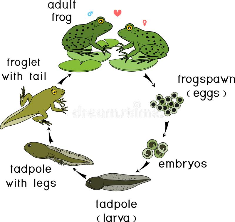 Life cycle of frog. Stages of development of frog from egg to adult animal. Life cycle of frog. Sequence of stages of development of frog from egg to adult stock illustration