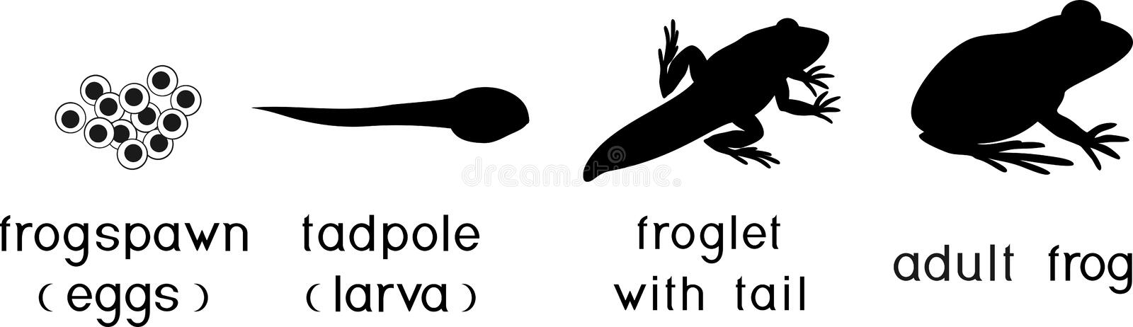 Life cycle of frog. Stages of development of frog from egg to adult animal. Life cycle of frog. Sequence of stages of development of frog from egg to adult vector illustration