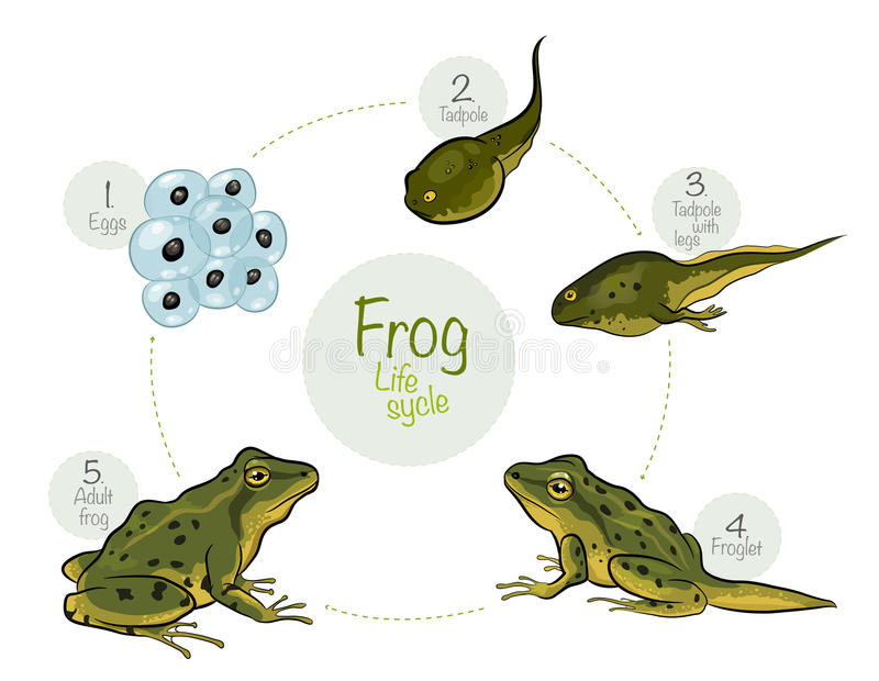 Life cycle of a frog. Vector illustration: Life cycle of a frog stock illustration