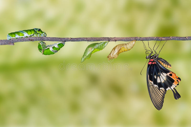 Life cycle of great mormon butterfly. From caterpillar royalty free stock image