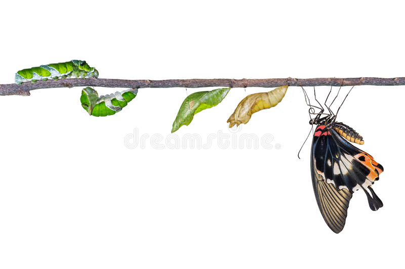 Life cycle of great mormon butterfly. From caterpillar royalty free stock photo
