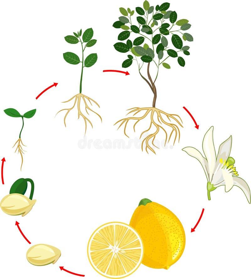 Lemon Tree Stock Illustrations  U2013 4 434 Lemon Tree Stock