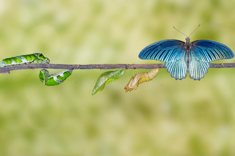 Life cycle of male great mormon butterfly from caterpillar. Life cycle and transformation of male great mormon butterfly from caterpillar royalty free stock photo