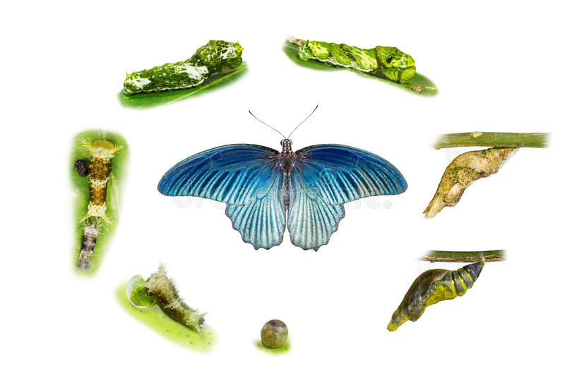 Life cycle of male great mormon butterfly. From egg , larva and pupa stock image
