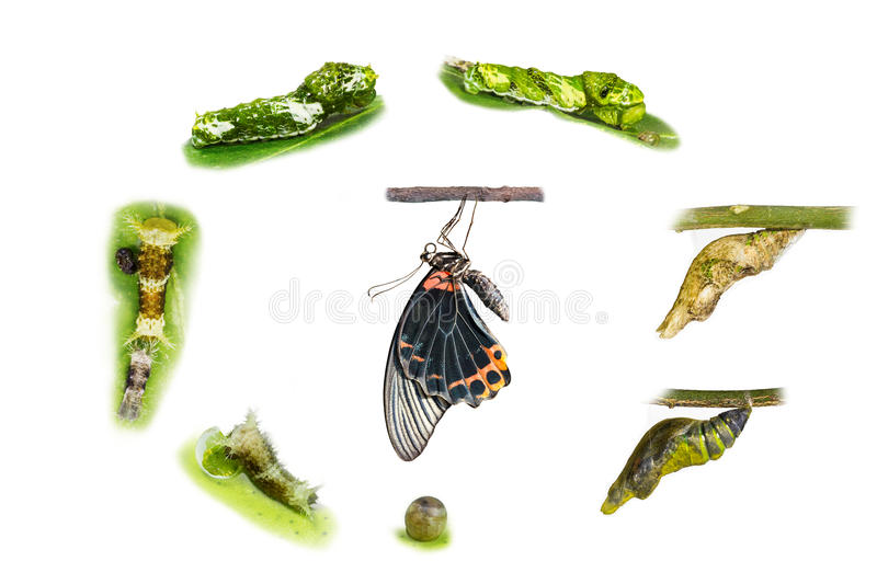 Life cycle of male great mormon butterfly. Frpm egg , larva and pupa stock photos