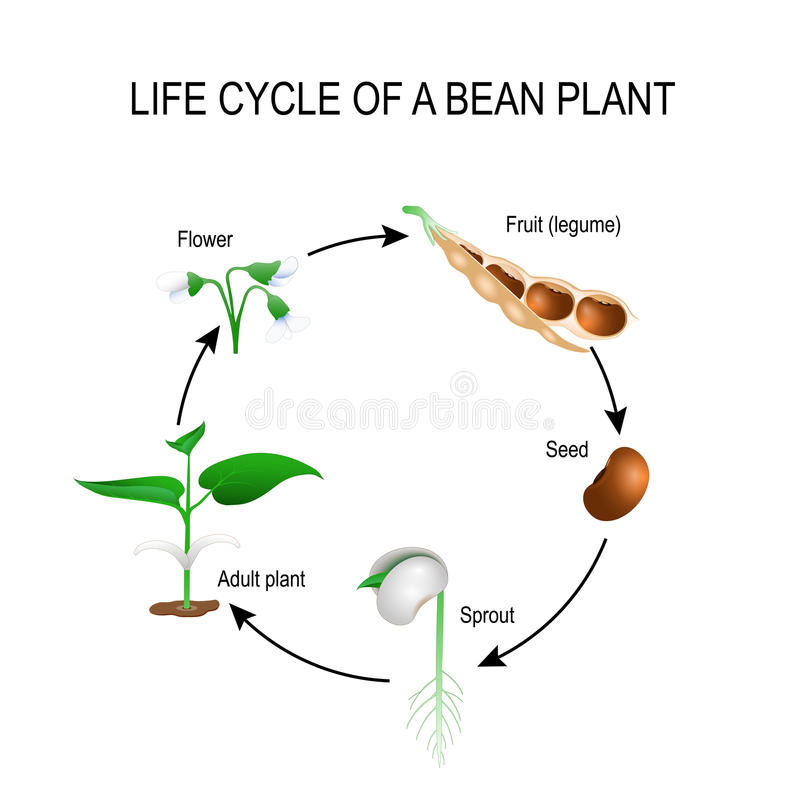 Free Life Cycle Of A Bean Plant Royalty Free Stock Images - 89668879
