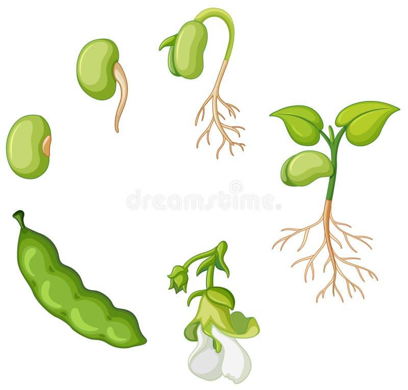 Free Life Cycle Of Green Bean Royalty Free Stock Photos - 101926548