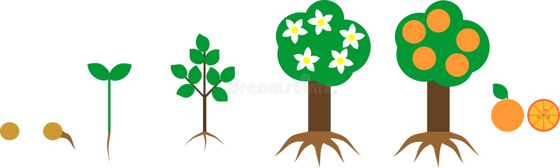 Growing Orange Tree  Life Cycle Plant Stock Vector
