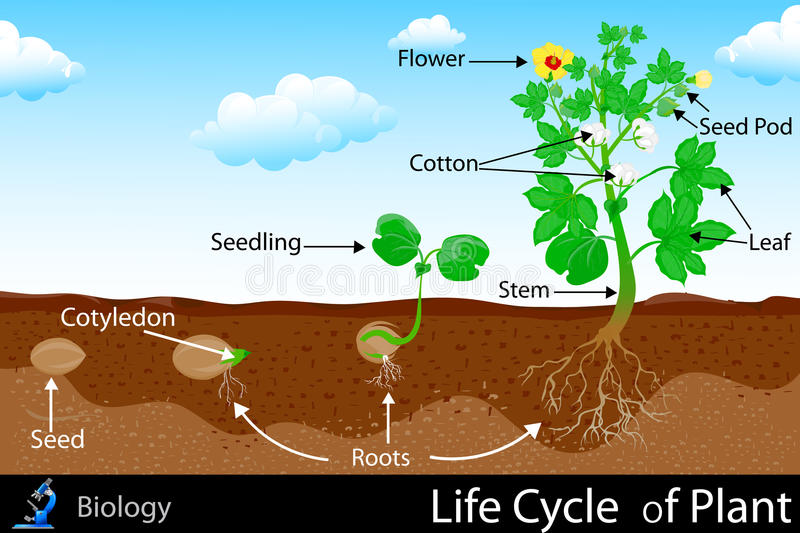 Life Cycle of Plant royalty free illustration