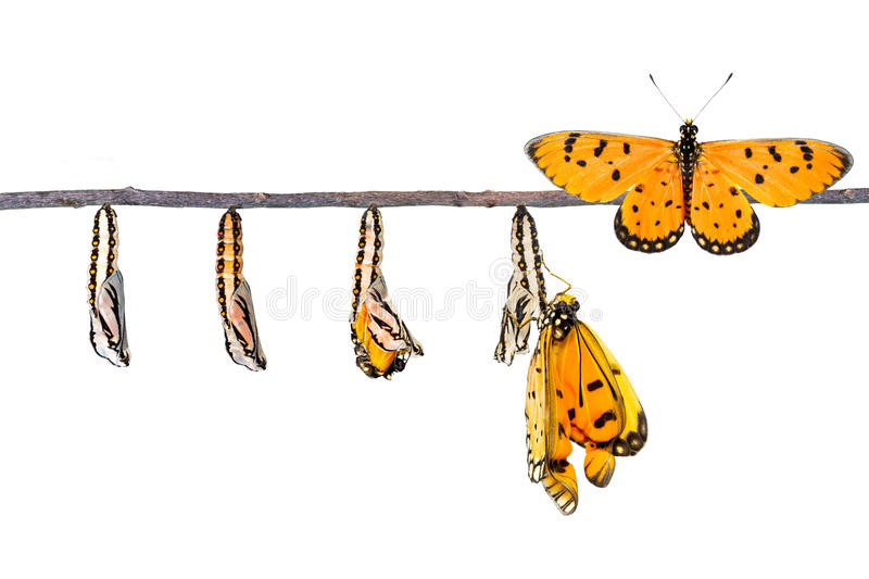 Life cycle of Tawny Coster transform from caterpillar to butterfly. On white stock images