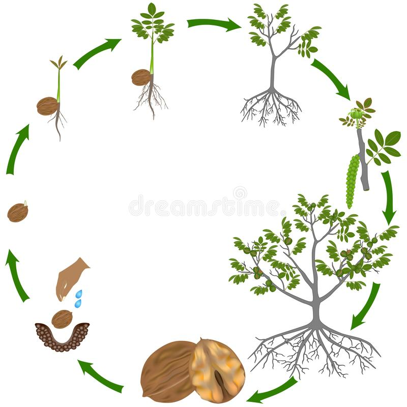 Life cycle of a walnut plant on a white background. Life cycle of a walnut plant on a white background, beautiful illustration royalty free illustration