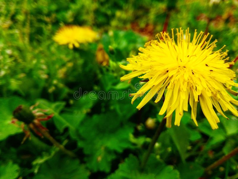 Life in dandelion royalty free stock photos