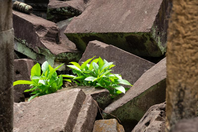 Plant grows in collapsed and crashed stone ruins and revives despite adverse obstacles. Life finds a way and grows in adverse conditions in collapsed and crashes royalty free stock photo