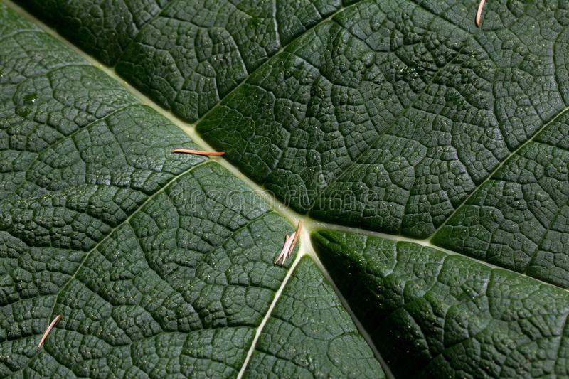 Life lines - close up of Giant Rhubarb leaf stock photo