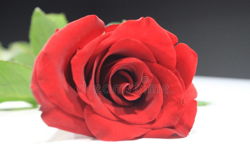 The Life of The Little Red Rose. You`ll like it! This racy rose will inspire you to colorful life stock photo