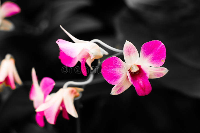 Life of an orchid royalty free stock photography