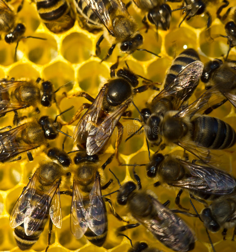 Life and reproduction of bees.Queen bee lays eggs in the honeycomb. stock photography