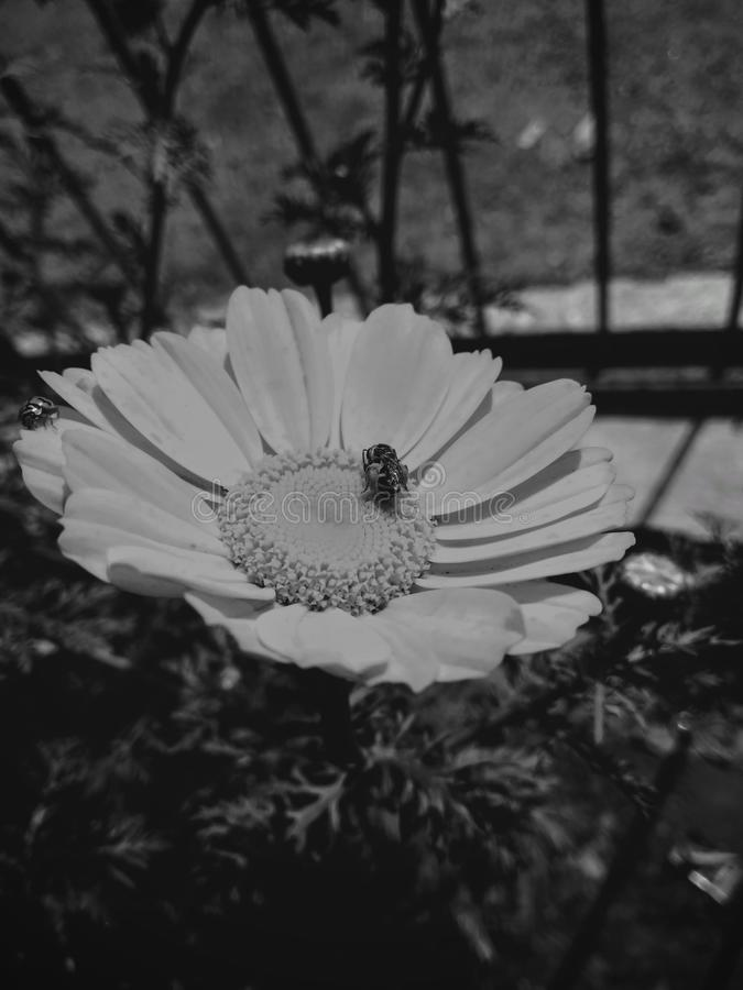 Life on the top of desire. Nector sucking Honey Bee royalty free stock photography