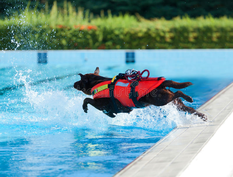 Lifeguard dog in swimming pool. Lifeguard dog, rescue demonstration with the dogs in swimming pool royalty free stock image