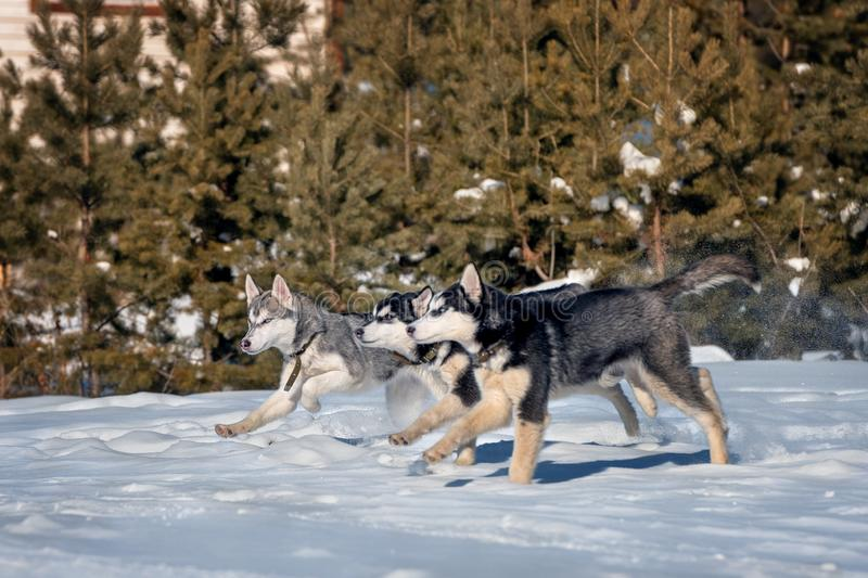lifestyle of puppies from Siberian husky kennel stock photos
