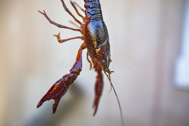 Lifted Crawdad from an aquaculture center. A wet crawdad is being held up for photography royalty free stock images