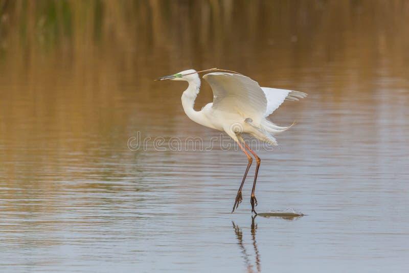 Liftoff alba do grande egretta branco do egret com o branchlet no bico fotografia de stock royalty free