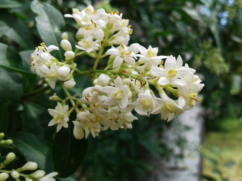 Ligústrum vulgáre Grön buske som prickas med små mjuka knoppar royaltyfri fotografi