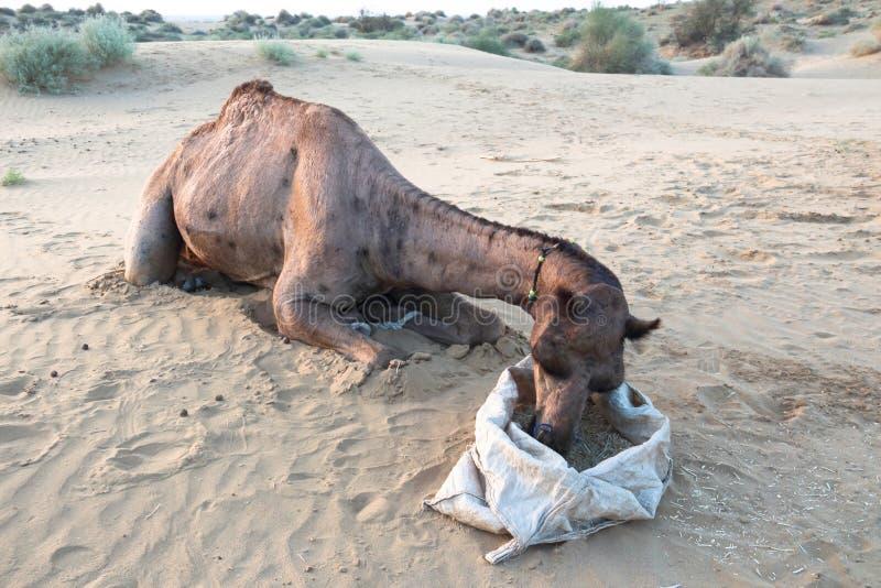 Lig en zie kamelen eten royalty-vrije stock afbeeldingen