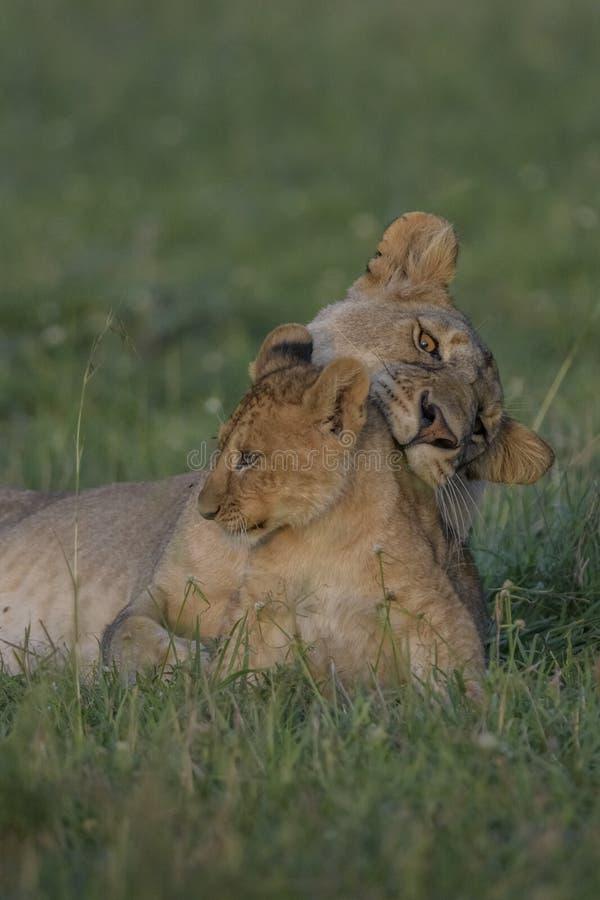 Ligação fêmea do leão com filhote imagem de stock
