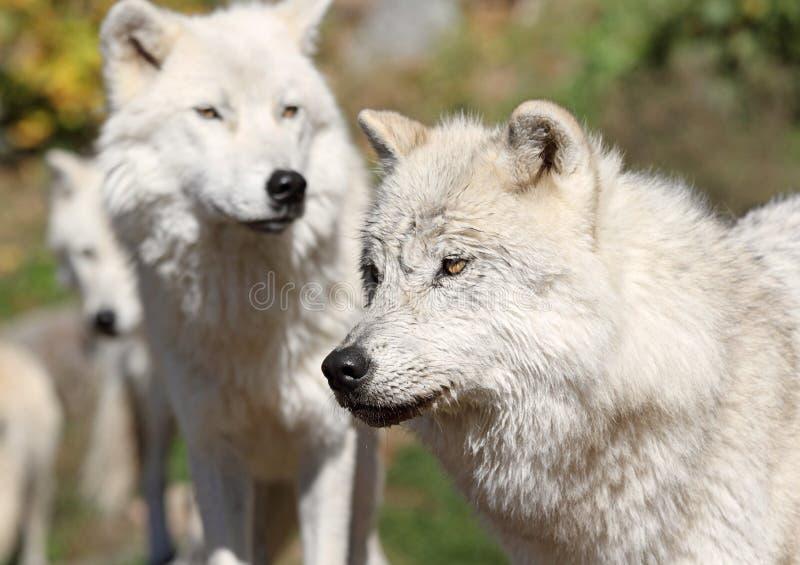 Liga av den arktiska wolfen royaltyfri fotografi
